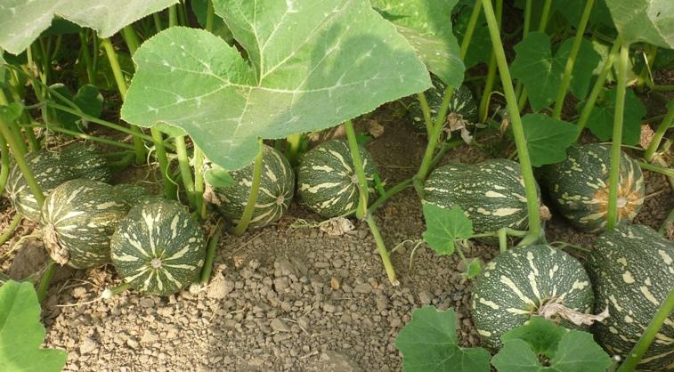Tháng 6,7,8 nên trồng rau gì-2