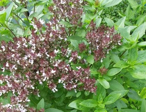 Hoa rau húng quế trong hệ Aquaponics