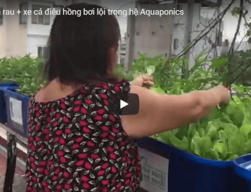 [Clip] Cá điêu hồng bơi lội + Thu hoạch rau Aquaponics anh Bình – Q.2
