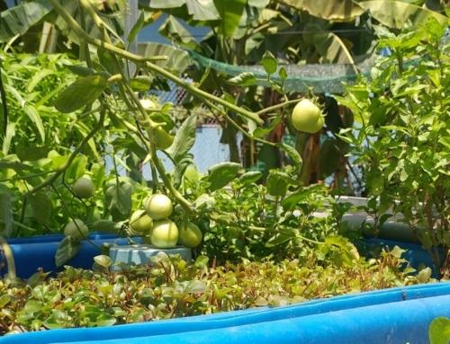Cà chua sai quả trên hệ RXCS Aquaponics